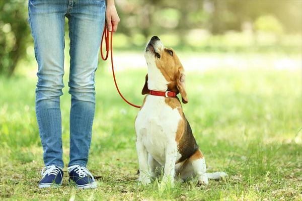 散歩中の犬の基本的なしつけとリーダーウォークのやり方を紹介